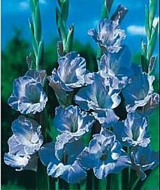 Spring Bulbs Gladiolus
